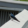 Tree Swallow at Ottawa National Wildlife Refuge