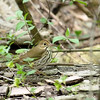 The Ovenbird was still hanging out just feet from the boardwalk's edge.