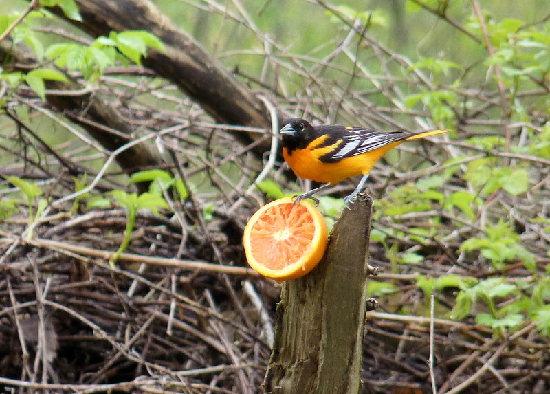 5/10/13 - The Baltimore Orioles feed on oranges placed around the edges of the parking lots.
