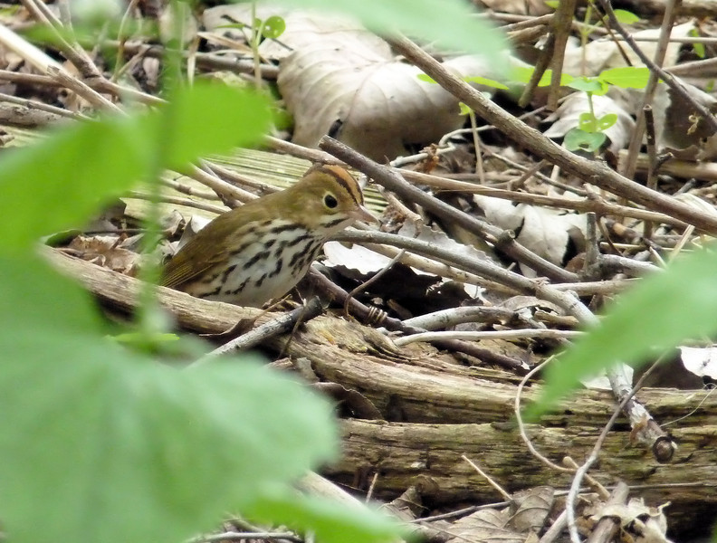Ovenbird - stalking something...looking like quite the fierce predator