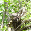 This Mourning Dove nest was very camouflaged and hard to spot.