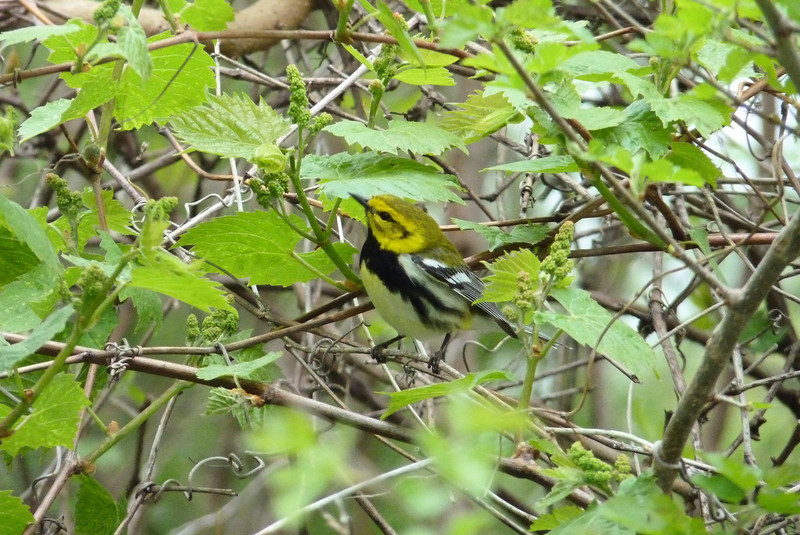 Another great show right at the entrance to the Magee Marsh boardwalk - a Black-throated Green Warbler foraged just a few feet away.