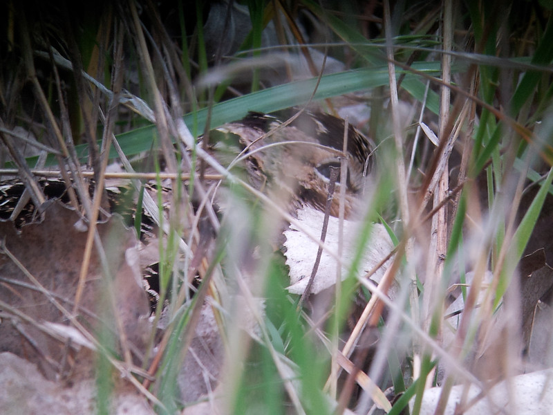 The American Woodcock was very well-camouflaged and nearly invisible, even in the sparse grass.  Sharon Stiteler (birdchick) had her scope set up and took this picture with my cell phone...you can see the woodcock's eye if you work at it!