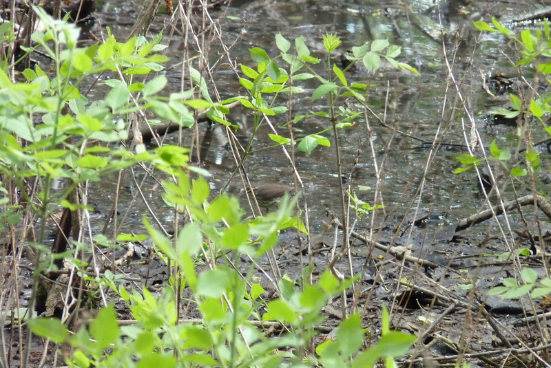 Can you find the Northern Waterthrush in this picture?