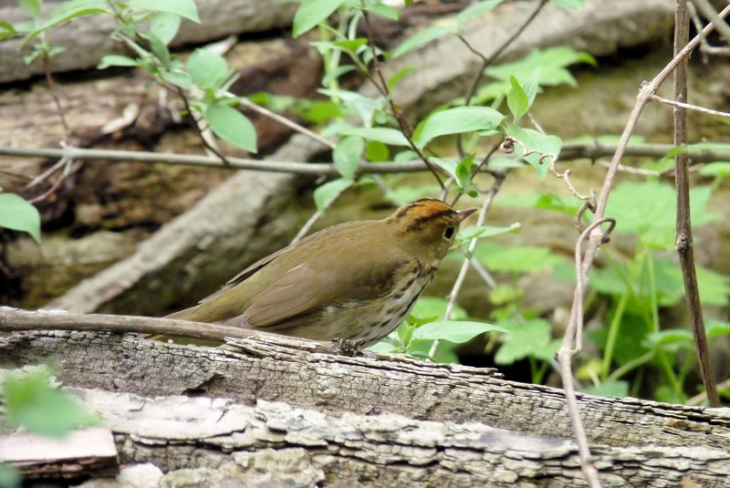 Ovenbird - staring down some unlucky insect.