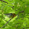 Blackburnian Warbler - the trees are full of them today