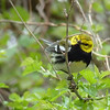 Black-throated Green Warbler - seemingly unfazed by the crowd of spectators.