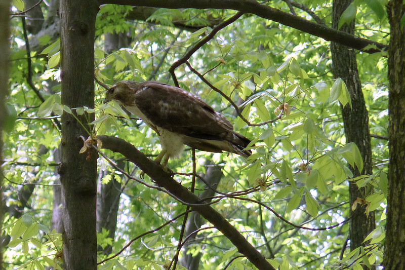 "5/9/2012 - My first field trip of the festival was a ""birding hotspots"" tour that started in Pearson Metropark (one of the Toledo city parks).  This immature Red-tailed Hawk followed our group around."