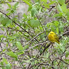 Yellow Warbler male