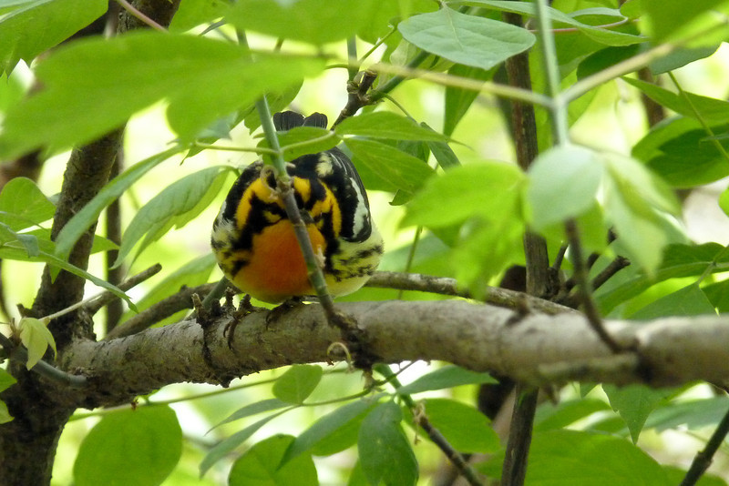 Blackburnian Warbler - looking like he belongs on the set of Angry Birds.