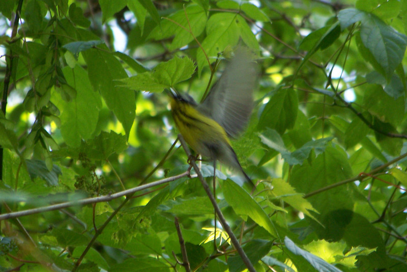 Magnolia Warbler who is so pretty I like even the out-of-focus shot.  May, 2010