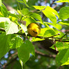 Prothonotary Warbler really working the trees over for bugs.  May, 2010