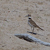 Kildeer on the beach of Lake Erie.  Magee Marsh Wildlife Area, May, 2010