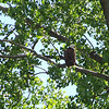 I saw many Bald Eagles at Ottawa National Wildlife Refuge, but this was the only conveniently perched one.