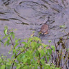 Muskrat at Magee Marsh Wildlife Area.  May, 2010