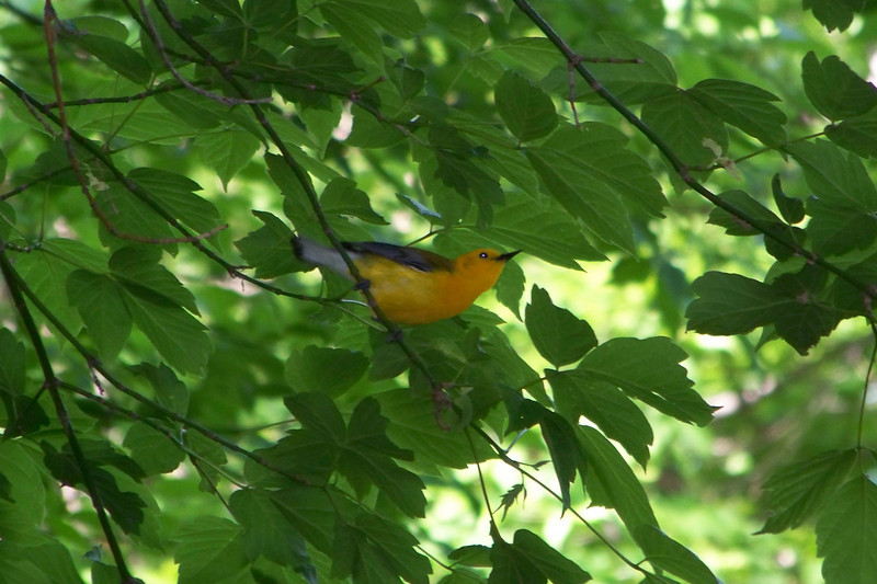 This was my first Prothonotary Warbler -- the photos don't do justice to how stunning this little guy is.  May, 2010