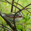 Chestnut-sided Warbler.  May, 2010