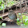 Thrush at Magee Marsh Wildlife Area, May 2010.  Several nice folks on the BirdKY list helped me try to ID the bird...Gray-cheeked Thrush got the most votes, but there were also votes for Swainson's, Hermit, and Veery.