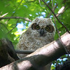 Great Horned Owl fledgling.  May, 2010