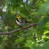 Black-throated Green Warbler -- another really pretty bird!  May, 2010