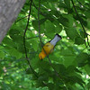 This little Prothonotary Warbler was so bright my eyes are still suffering!  May, 2010