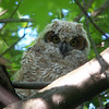 Great Horned Owlet.  May, 2010