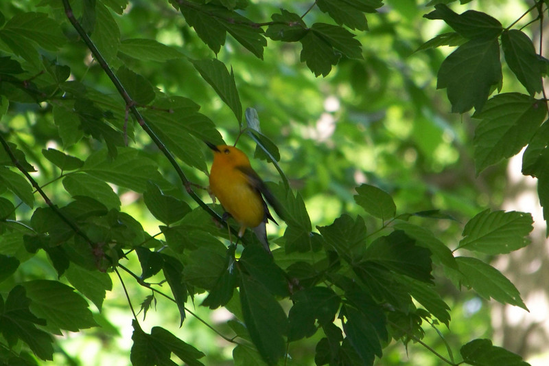 Prothonotary Warbler...this was one of the less timid birds on the boardwalk.  At one point he even landed on the boardwalk railing very close to me, but I was too shocked to react.  May, 2010