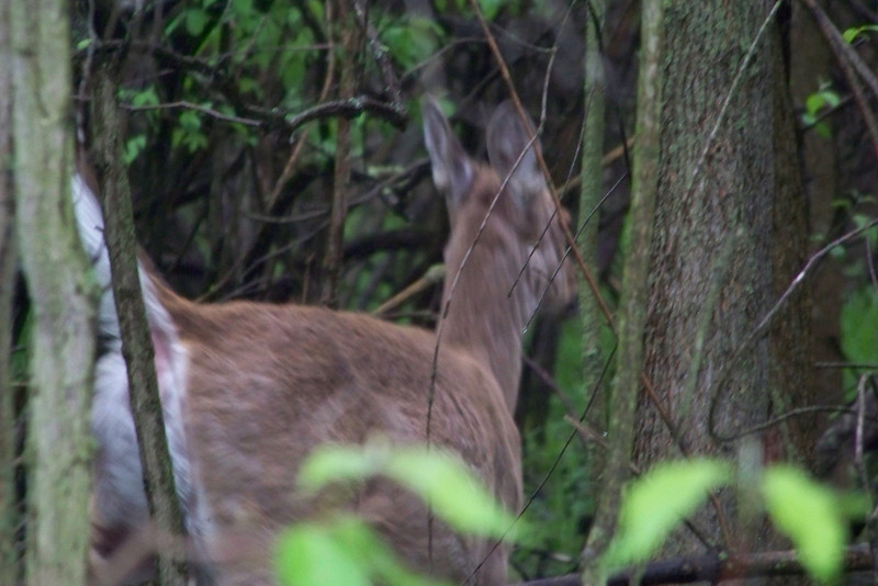 """I startled a couple of White-tailed Deer at Magee Marsh, who promptly """"turned tail"""" and vacated the area.  May, 2010"""
