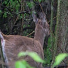 "I startled a couple of White-tailed Deer at Magee Marsh, who promptly ""turned tail"" and vacated the area.  May, 2010"