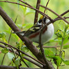 Chestnut-sided Warbler from a slightly better angle.  May, 2010