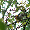 My one sighting of a Blackburnian Warbler -- a gorgeous bird who almost held still long enough to be photographed.  May, 2010