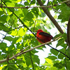 Scarlet Tanager, May, 2010