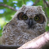 The owlet usually snoozed until evening began to set in...by 7:00 pm he/she would become quite alert and interested in the visitors.  May, 2010