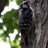 Downy Woodpecker.  May, 2010