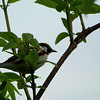 Chestnut-sided Warbler who kept insisting on being silhouetted against the blue sky.  May, 2010