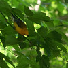Prothonotary Warbler.  May, 2010