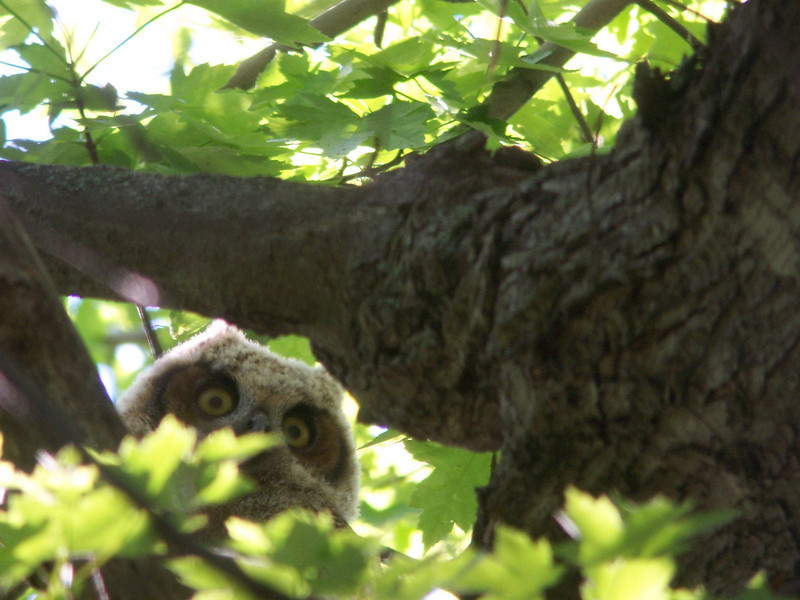 I ventured back to Ottawa National Wildlife Refuge the next afternoon; a much sunnier day and more conducive to digiscoping.  I took far too many pictures of this young Great Horned Owl.  May, 2010
