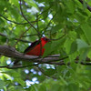 I saw several Scarlet Tanagers who were knock-my-socks-off gorgeous, but it was too cloudy to get a good photo!  May, 2010