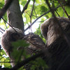 Down the highway at Ottawa National Wildlife Refuge were some Great Horned Owl younguns who were newly out of a nest cavity.  This was the only picture I got of the two preening owlets side by side.  May, 2010
