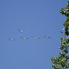 American White Pelicans flying over Magee Marsh.  May, 2010