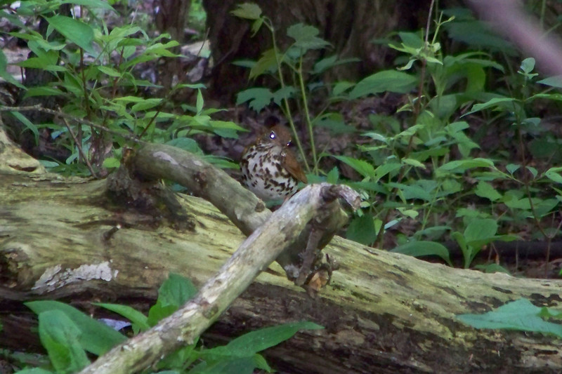 Wood Thrush at Magee Marsh Wildlife Area.  May, 2010