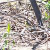 Kirtland's Warbler.  May, 2010