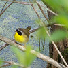Common Yellowthroat.  This guy is another one of my favorite birds!  May, 2010