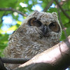 Great Horned Owl juvenile resting its enormous eyes.  May, 2010