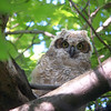 After some time the young owlet ventured to a more exposed part of the branch.  May, 2010