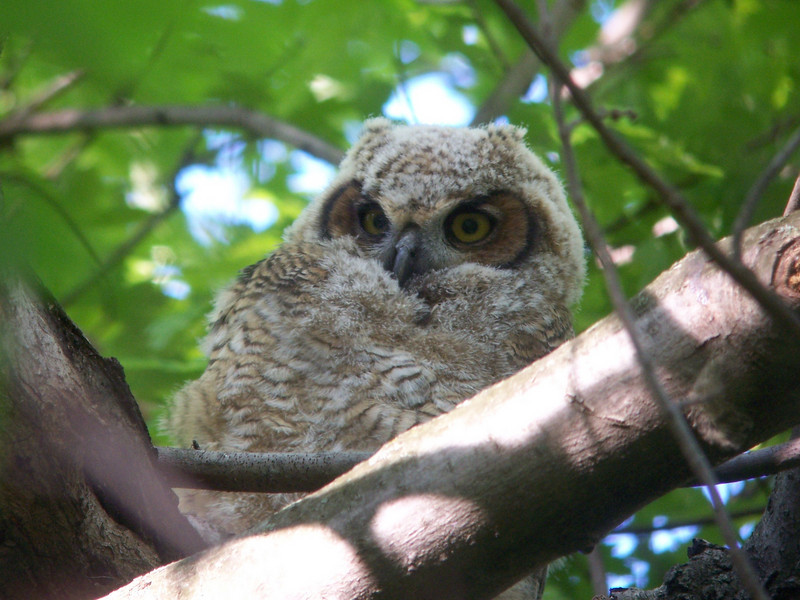 I finally had to leave the owlets to try and spot some courting woodcocks.  May, 2010