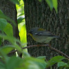 Northern Parula.  May, 2010