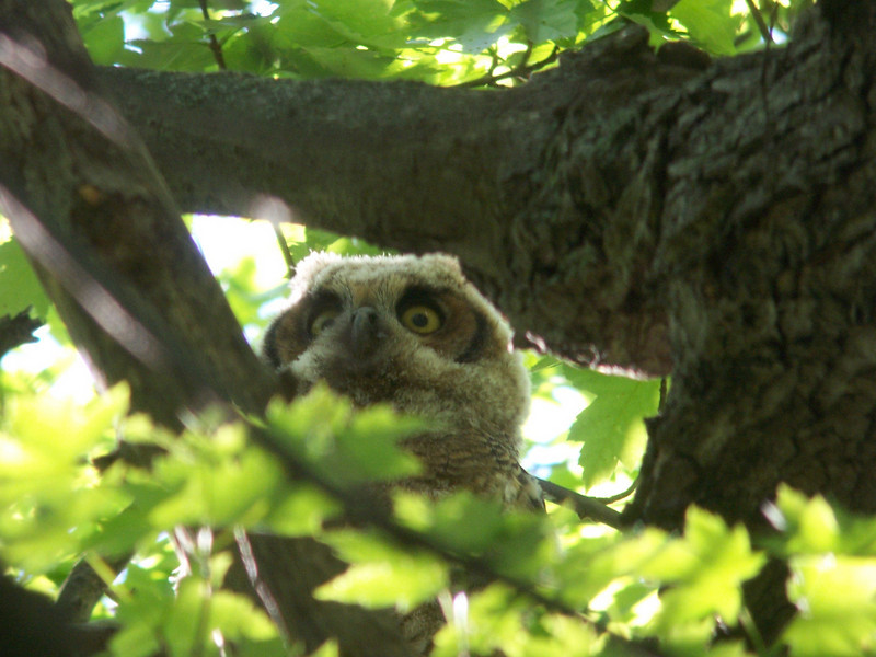 Intially the Great Horned Owlet was tucked in behind leaves and branches.  May, 2010