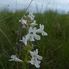 White Beardtongue (Penstemon albidus)