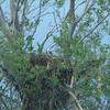 Swainson's Hawk on a nest